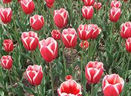 亭亭玉立的红色郁金香图片