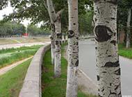 白楊樹的樹皮特寫矢量圖