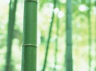 修长挺立的竹子高清图片