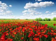 媚惑人心的罂粟花图片素材