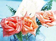 被露珠滋潤的香檳玫瑰圖片