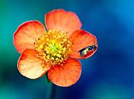 花朵上可爱的蜜蜂图片