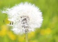 春天里的蒲公英高清图片