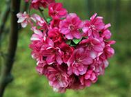 秋海棠花图片花团锦簇