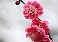 不惧严寒的红梅花开图片