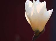 白色玉兰花特写图片
