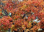 楓紅似火的楓樹圖片