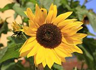 向日葵花灿烂盛放图片欣赏
