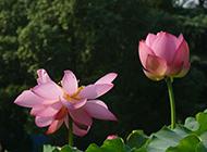 风姿绰约的莲花摄影图片