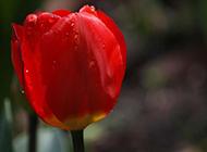 荷兰郁金香图片姿态优雅