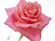 艷粉玫瑰圖片精致好看
