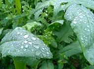 菜园的绿色有机蔬菜图片