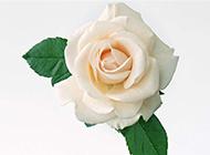 如玉的白玫瑰图片素材