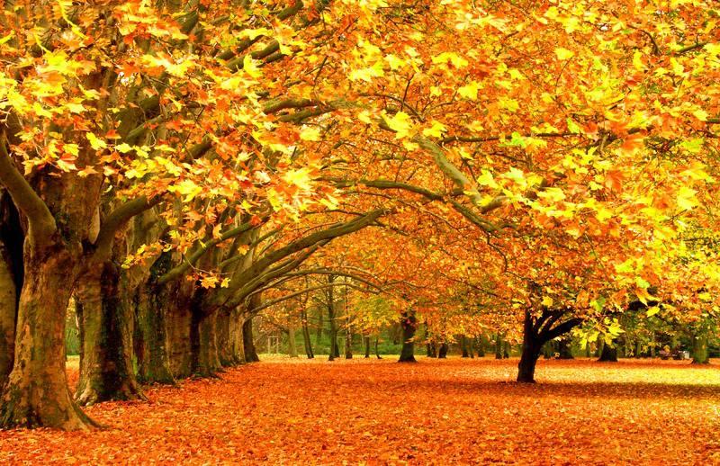 法國梧桐樹秋天落葉美景欣賞