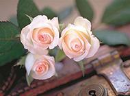 鎖孔上的香檳玫瑰唯美圖片