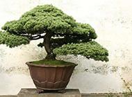 观赏性极高的松树盆栽图片