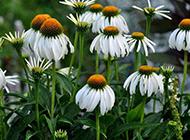 外观古朴的雏菊摄影图片