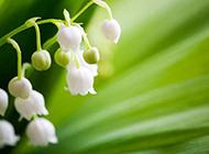 清新純潔的鈴蘭花圖片