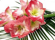 粉嫩娇艳的喇叭花图片