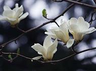 洁白如玉的玉兰花图片