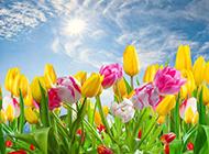颜色艳丽的郁金香高清图片