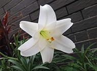 白百合花灿烂盛放盆栽植物图片