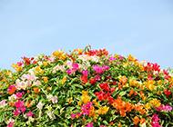 春天三角梅盆景色彩斑斓