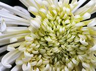 白色菊花超清特写图片