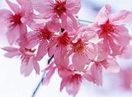 粉桃花春天粉嫩绽放图片