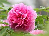 粉色康乃馨图微距特写