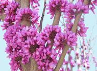 香港紫荆花图片十分美丽