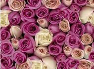 紫玫瑰花背景图片素雅唯美