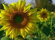 阳光下灿烂的向日葵图片