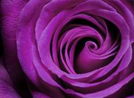 妖艷誘人的紫玫瑰圖片賞析