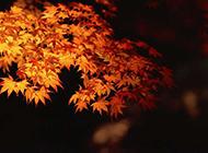 秋日金黄色的枫叶摄影图片