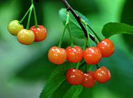 树上黄中带红的樱桃图片