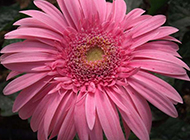 花朵碩大的粉色非洲菊圖片
