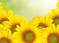 阳光下的向日葵高清摄影图片