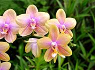 红蝴蝶兰花图片优雅清新