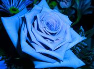蓝玫瑰花图片唯美鲜花图片素材