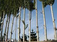 白楊樹圖片一片樹林圖片