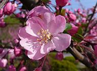 娇嫩雅致的秋海棠花图片