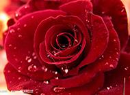雨后的红玫瑰图片特写