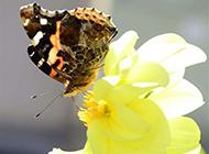 落在大丽花上的蝴蝶