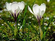 草本植物正宗藏紅花圖片欣賞
