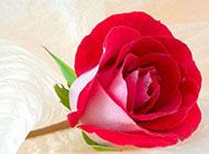 一朵红玫瑰花高清特写图片
