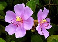 紫牡丹花图片素雅清新绽放枝头