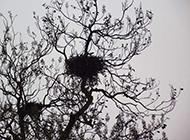 梧桐樹上的鳥窩攝影圖片