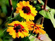 黄色野菊花田园绽放图片特写