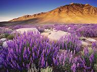 昏暗天空下的紫色薰衣草图片